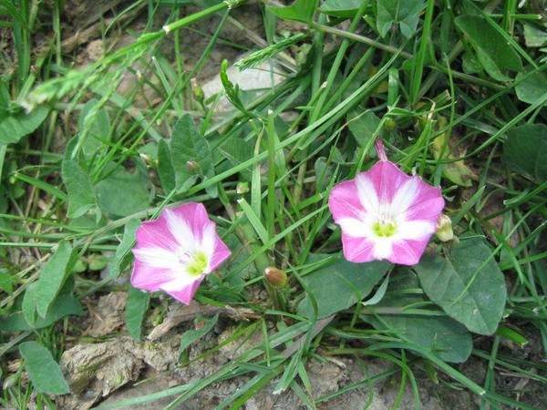 Field Bindweed