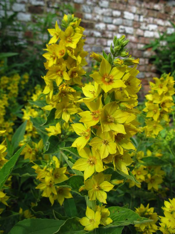 Spotted Loosestrife
