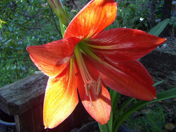 Johnson's Lily