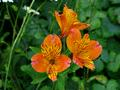 Peruvian Lilly - Orange Supreme