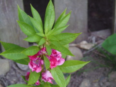 Impatiens Balsamina - unknown